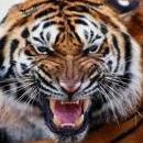 Tigerwout
