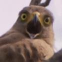 InsaneHawk